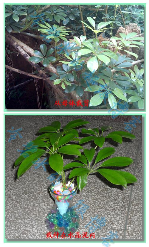 发财树水培植成长历程(更新到2013年4月7日)
